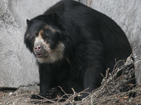 Очковый медведь - tremarctos ornatus.